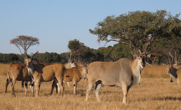 Mukuvisi-Woodlands-Eland-herd